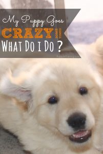 What do I do when my puppy goes crazy?