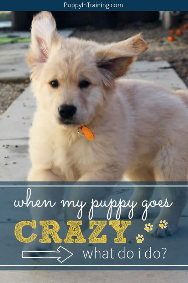 My puppy goes crazy sometimes! What do I do? We liked to call it the puppy zoomies. One minute your puppy is normal the next he's bouncing off the walls, not listening and running like a mad puppy. Yep, it's a case of the zoomies. Here are some things you can do that will help you puppy came down. #puppyzoomies #crazypuppy #puppyrunningaway #puppygoescrazy #puppyinattackmode #puppytraining #puppybiting