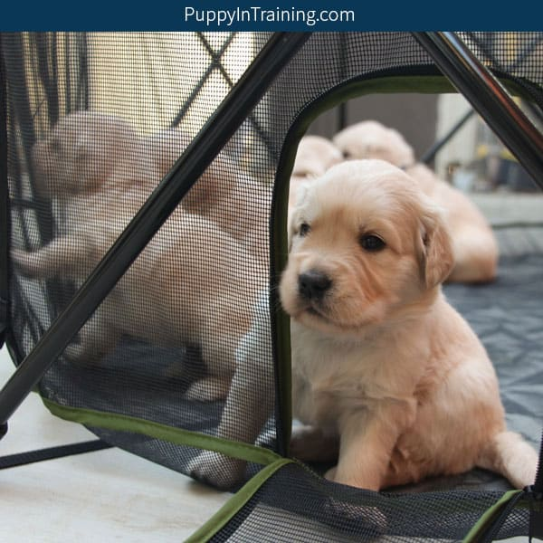 Puppy peering out of the Carlson Portable Pet Pen door.