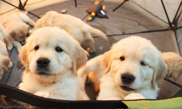 Two puppies jump up on the Carlson Portable Pet Pen.