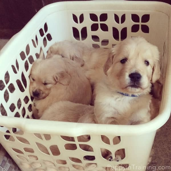 Litter of puppies sitting in a laundry basket.