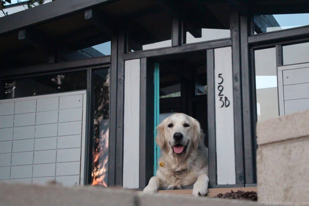 A happy Golden in her custom Eichler dog house.