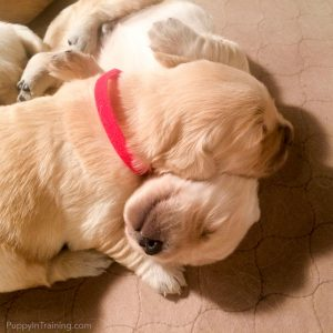 Golden Puppies - Bear and Buster