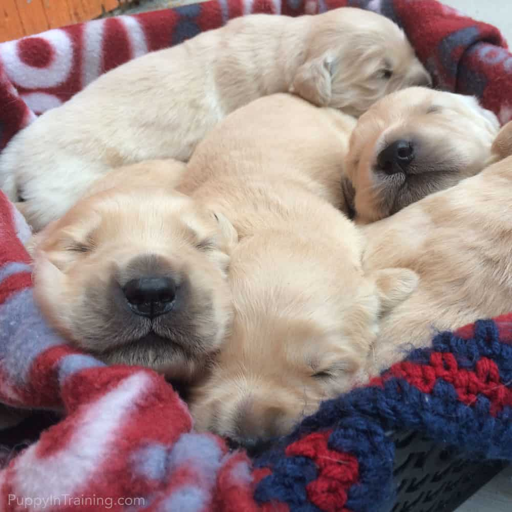 A Basket Full Of Golden Retriever Pups - Day 11