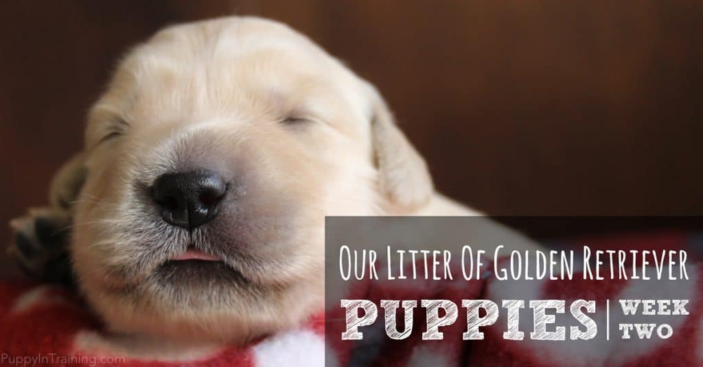 Our litter of Golden Retriever puppies