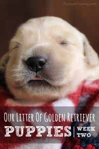 Golden Retriever Pups - Week 2