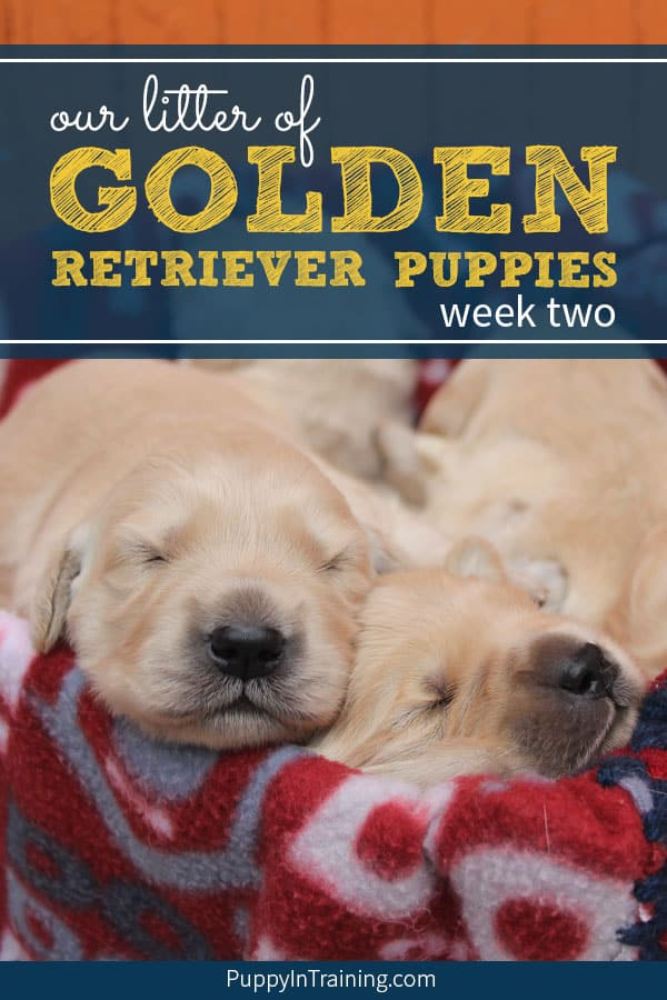 Our litter of Golden Retriever puppies week two. Lots of milestones during week two in a puppies life. Eyes and ears start opening. Of course one of the greatest things…you get to see the first puppy waddles AKA walking. #goldenretrieverpuppy #goldenretrieverpuppies #litterofpuppies #litterofpuppiestips #puppylitter