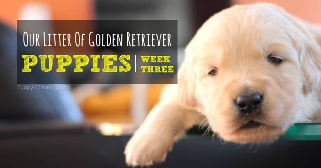 Golden Retriever Puppies Week 3