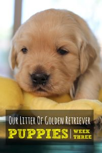 Our Golden Retriever Puppies - Week 3