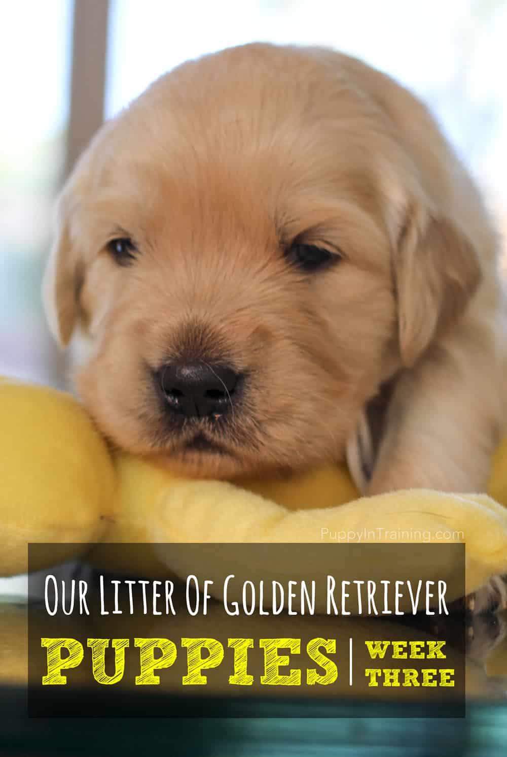 Our Golden Retriever Puppies - Week 3