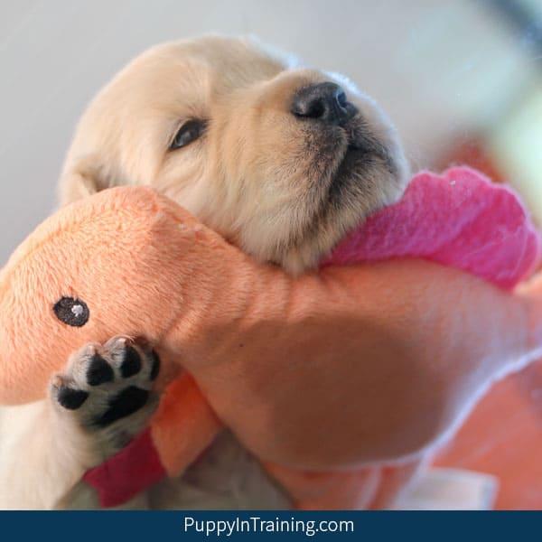 Golden Retriever Pups Week 3