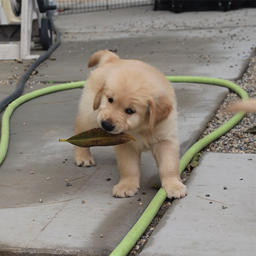 Buster the Golden Puppy