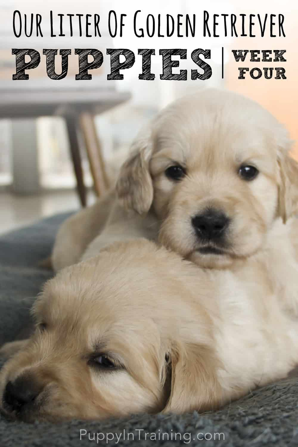 Golden Retriever Puppies Sisters