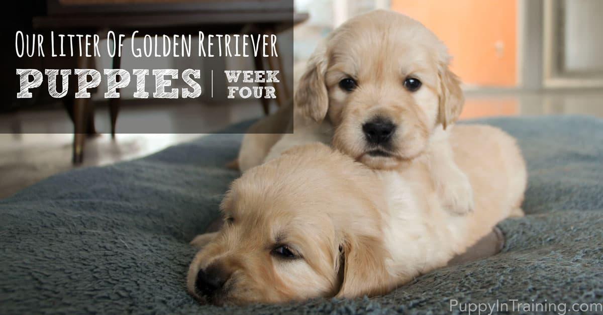 Golden Puppies Week 4