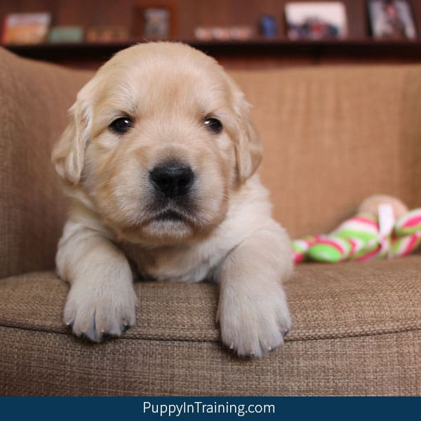 Our Litter Of Golden Retriever Pups - Week 4 - Puppy In Training