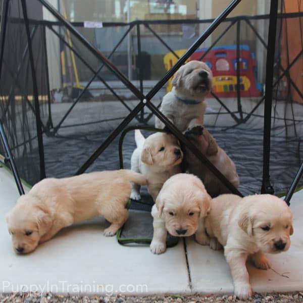 Golden Pups Week 4 - Puppies exploring new surfaces.