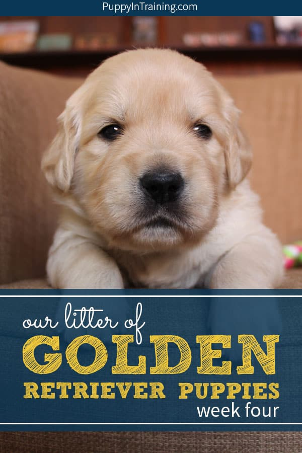Our Litter Of Golden Retriever Pups Week 4 Puppy In Training