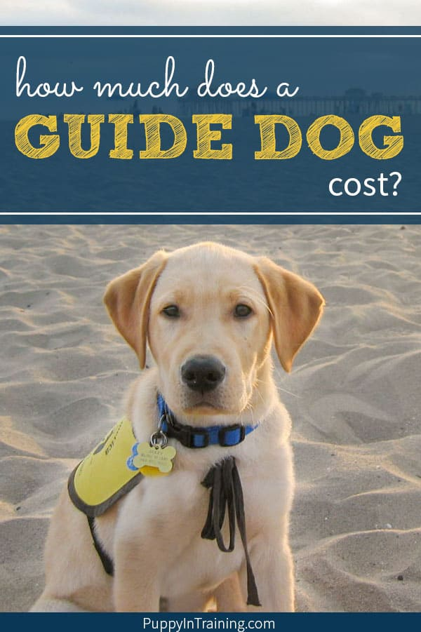 How much does a Guide Dog cost? Answer: It's not cheap and it will vary by organization. We've been raising Guide Dog puppies for over 12 years now and most people's jaws drop to the floor when they find out the total cost of a Guide Dog. #guidedog #assitancedog #guidedogcost #guidedogpuppy #guidedogintraining #puppyintraining