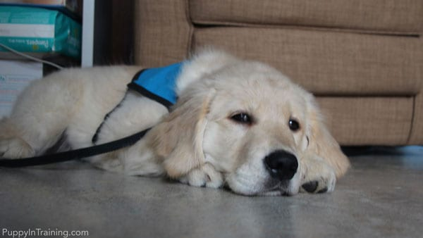 Our little puppy in training someday hopes to be a Guide Dog.