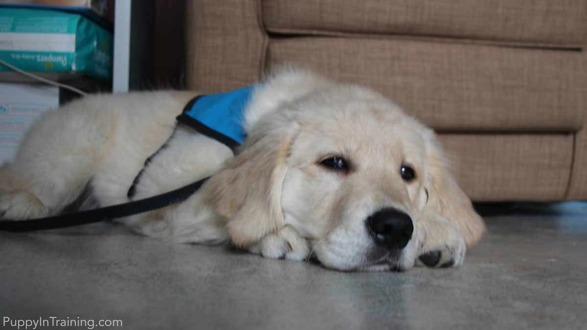 Guide dog puppy in training