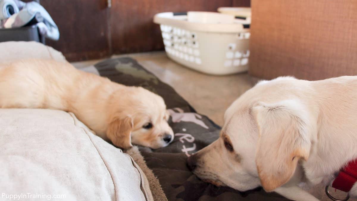 Golden Retriever Pups - Week 6