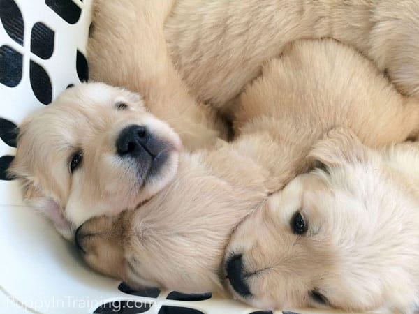 5 Week Old Golden Puppies Play in laundry basket