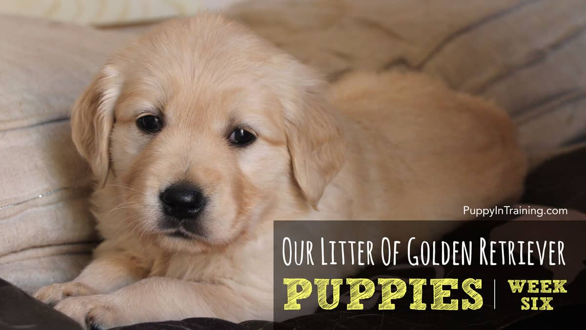 Our Litter Of Golden Retriever Pups Week 6 Dog Couture Country