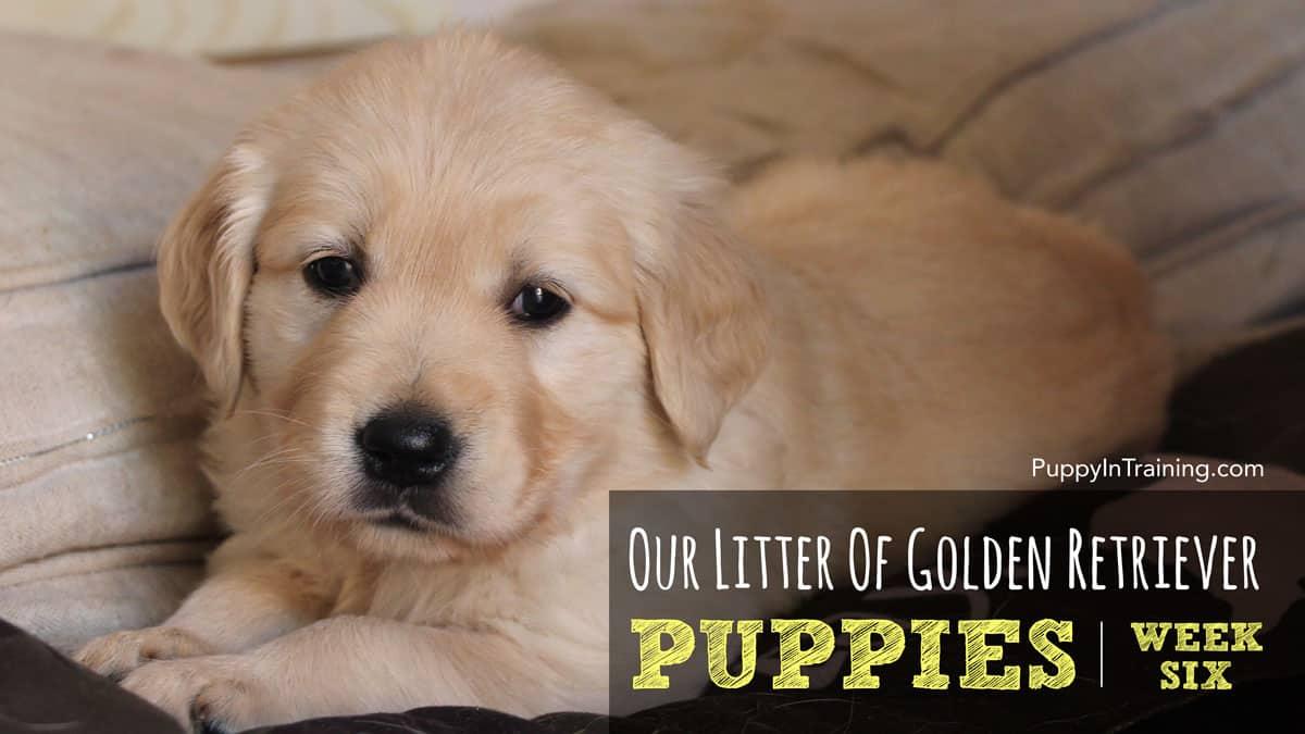Golden Retriever Puppies Week 6