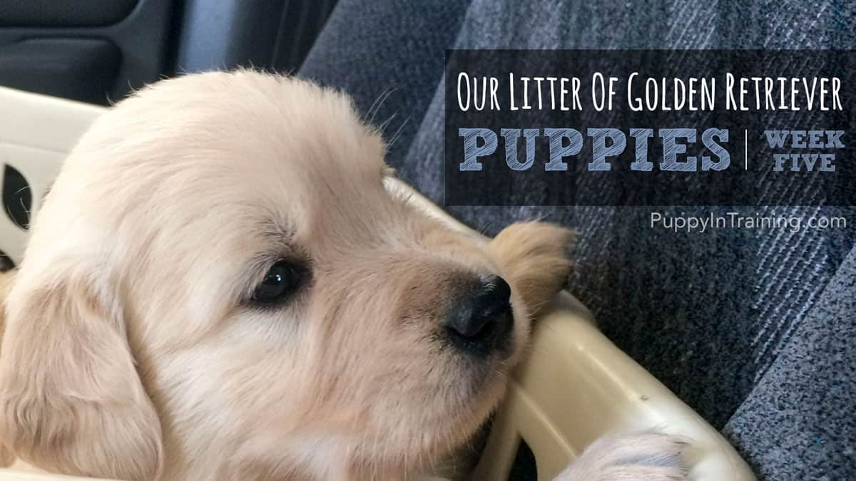 Our Golden Retriever pups week 5 in the laundry basket car ride