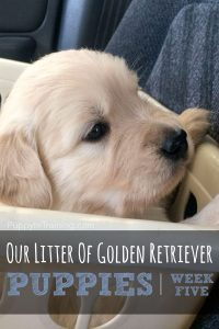Golden Retriever Pups - Week 5 Car Ride