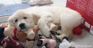 Is one of the puppy temperament test sleeping on a pile of toys?