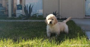 Our Golden Bear puppy getting used to the grass.