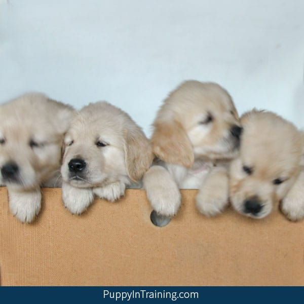 Golden Retriever Puppies Week 7