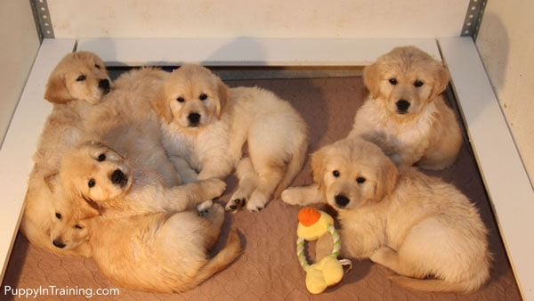 Golden puppies just chillin'