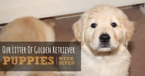 Golden Retriever Puppies Week 7