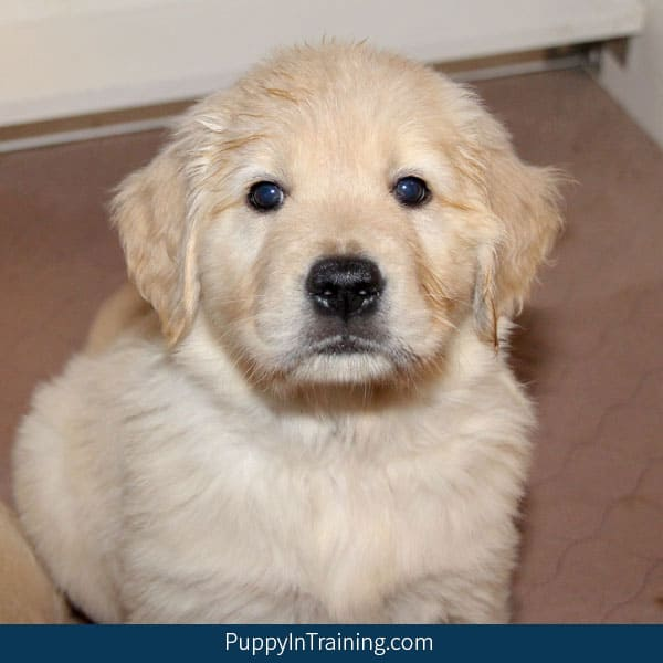 One Seven Week Old Golden Retriever Puppy!