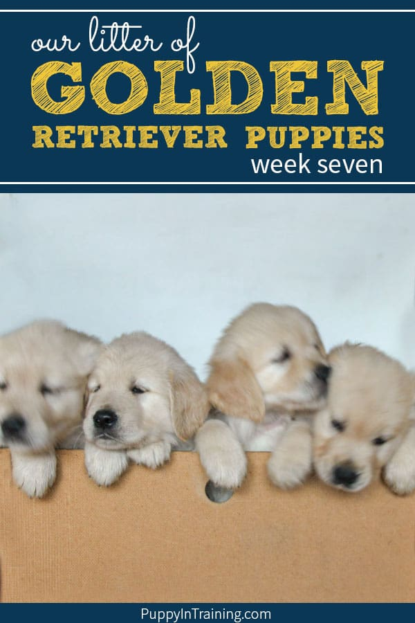 Our litter of Golden Retriever puppies week 7. We're still loving on the glorious puppy piles. A big development this week in puppy agility. These pups are now able to escape the whelping box. Gulp…please pray for us :) #goldenretrieverpuppy #litterofgoldens #puppyintraining #goldenretrievers #goldenpuppies