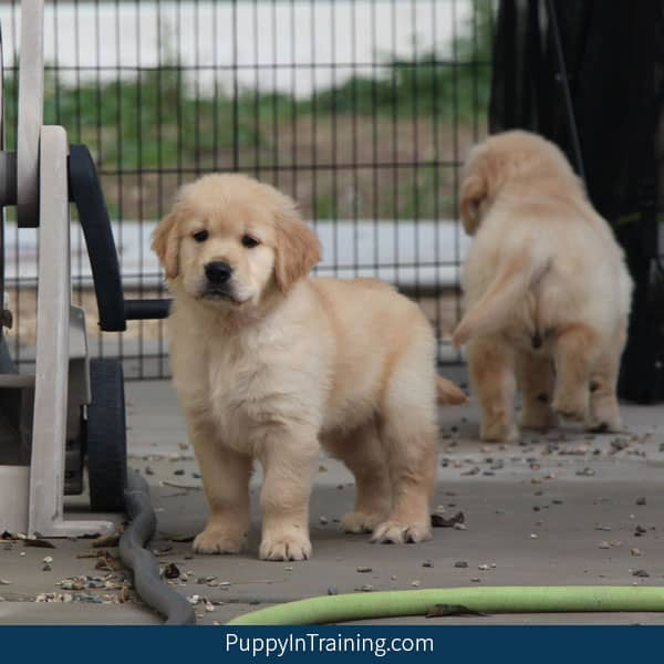 Our Litter Of Golden Retriever Pups Week 8 Puppy In Training