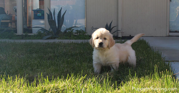 The Golden Bear Puppy - Checking out different surfaces.