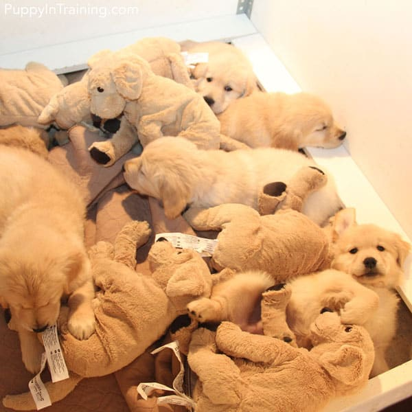 Golden puppy pile x2 - Can you tell which are real?