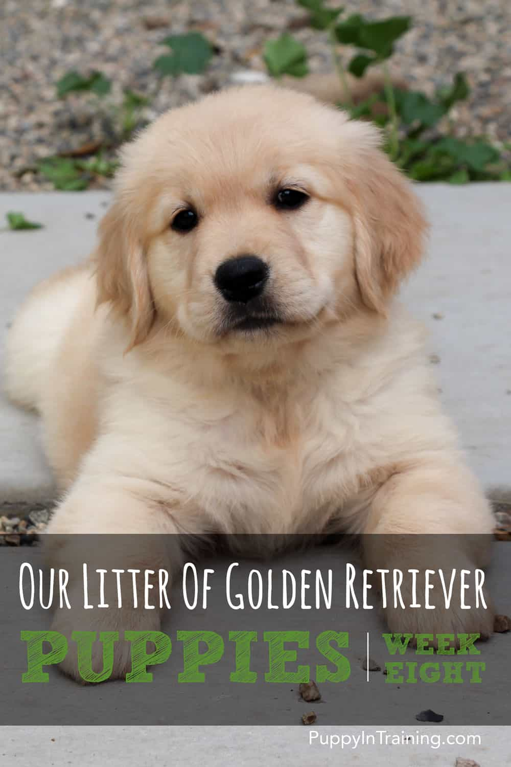 Golden Retriever Pups - Week 8