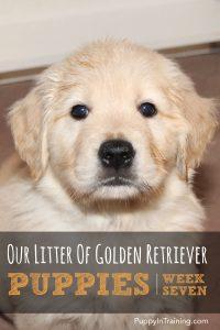 Golden Retriever Pups Week 7