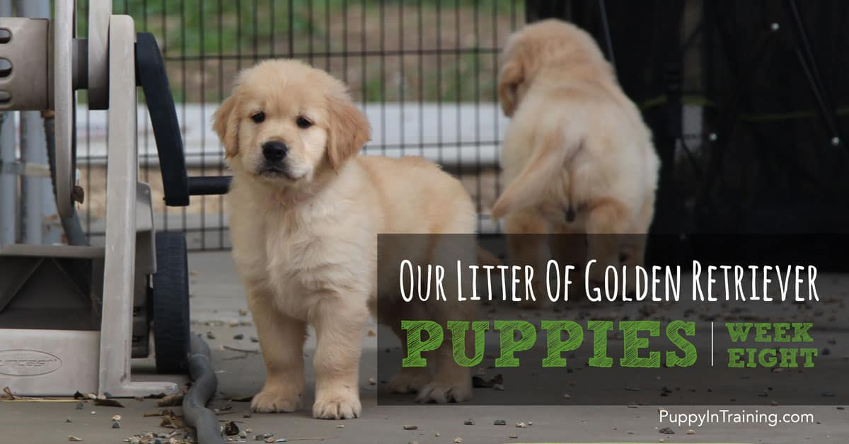 Our Golden Retriever Pups - Week 8