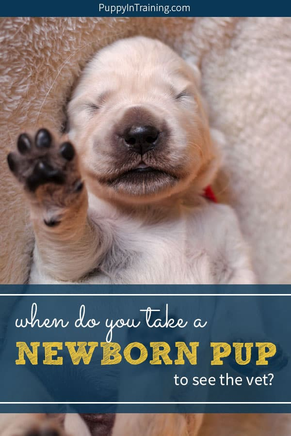 When do you take a newborn puppy to the Vet? One of our newborn Golden Retriever puppies got really sick in what seemed like the matter of hours. Based on his symptoms we had to make a quick question to take our little pup to the vet. #goldenretrieverpuppy #newbornpuppy #newbornpuppycare #newbornpuppypictures #newborngoldenretriever