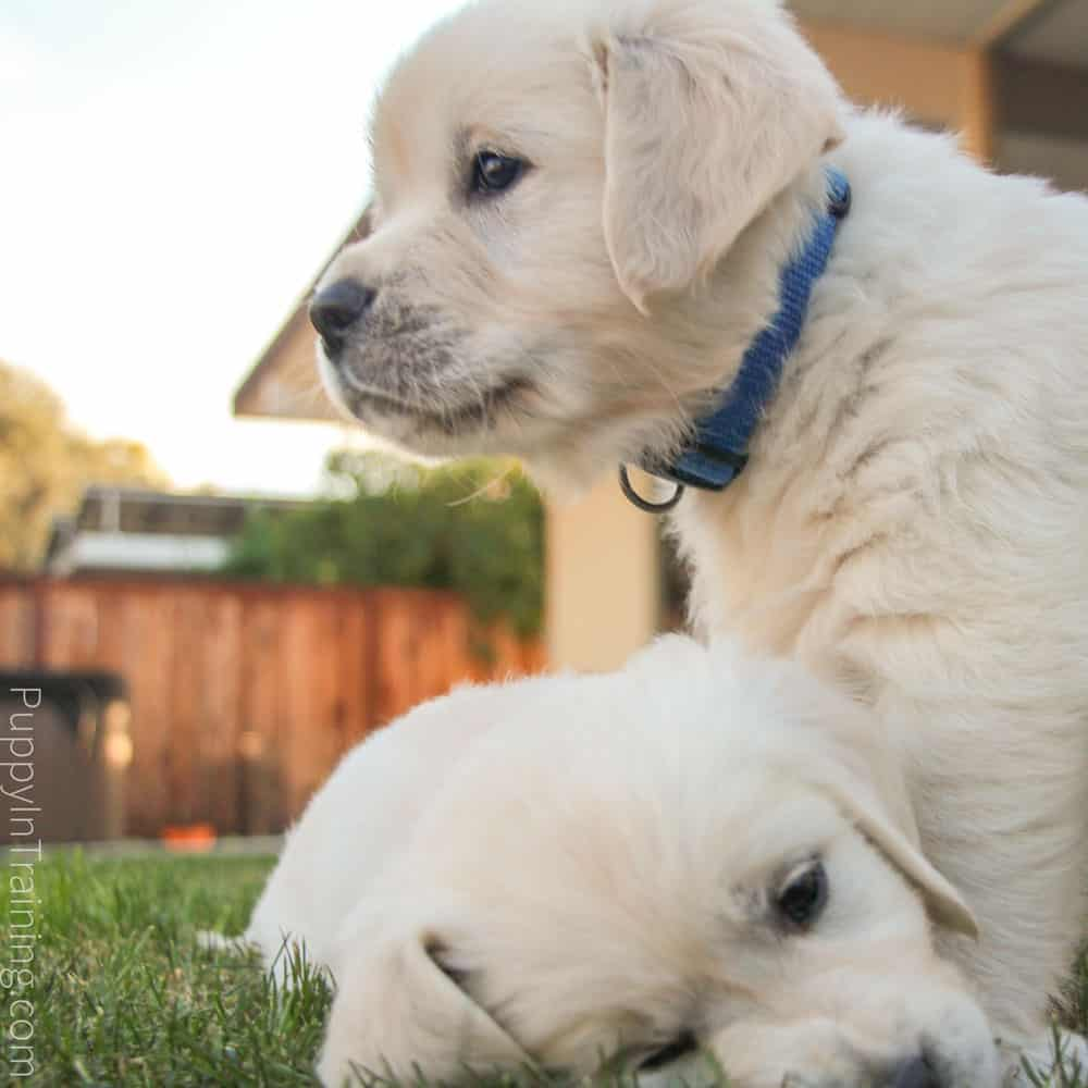 English Cream Golden Retriever Puppies From Newborn To 8