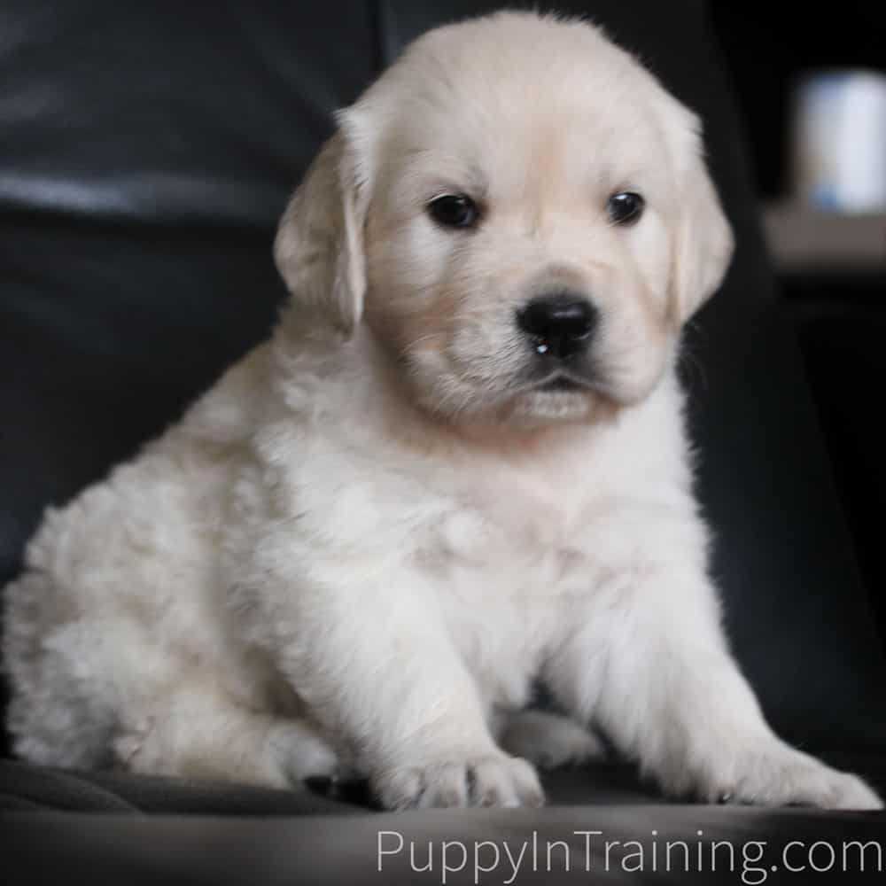 English Cream Golden Retriever Puppy Growth And Development Week 6