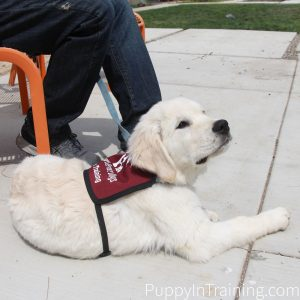 Charlie puppy in his Cascade Service Dogs Vest