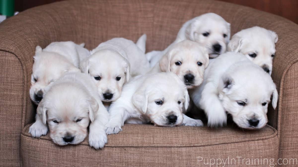 English Cream Golden Retriever Puppies Growth and Development Week 4