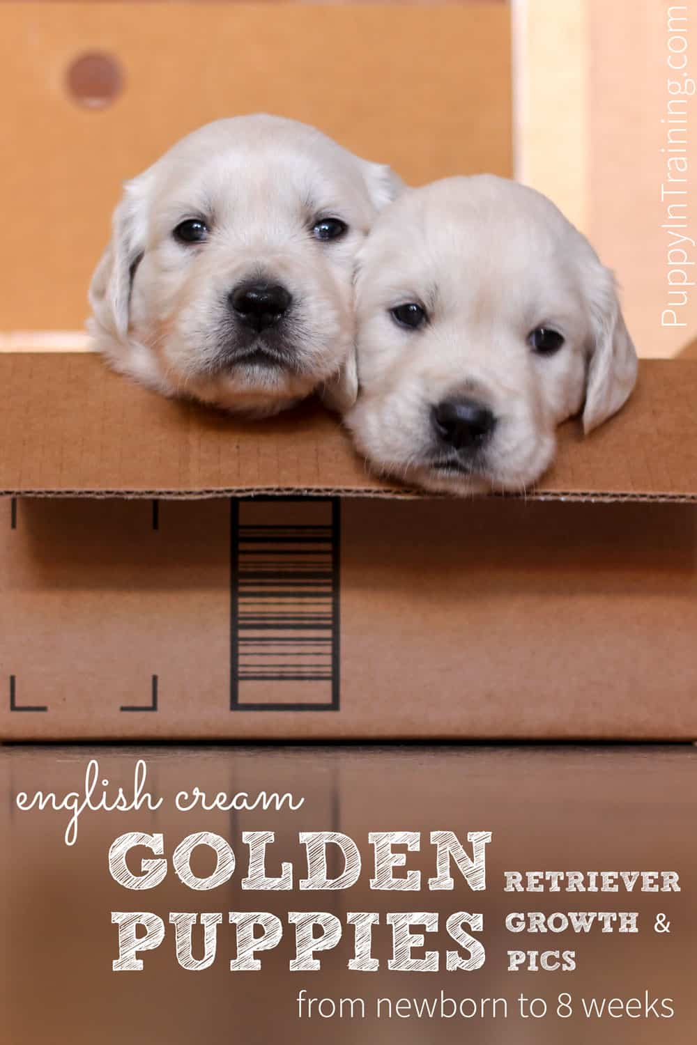 Two English Cream Golden Retriever puppies sitting in a box.