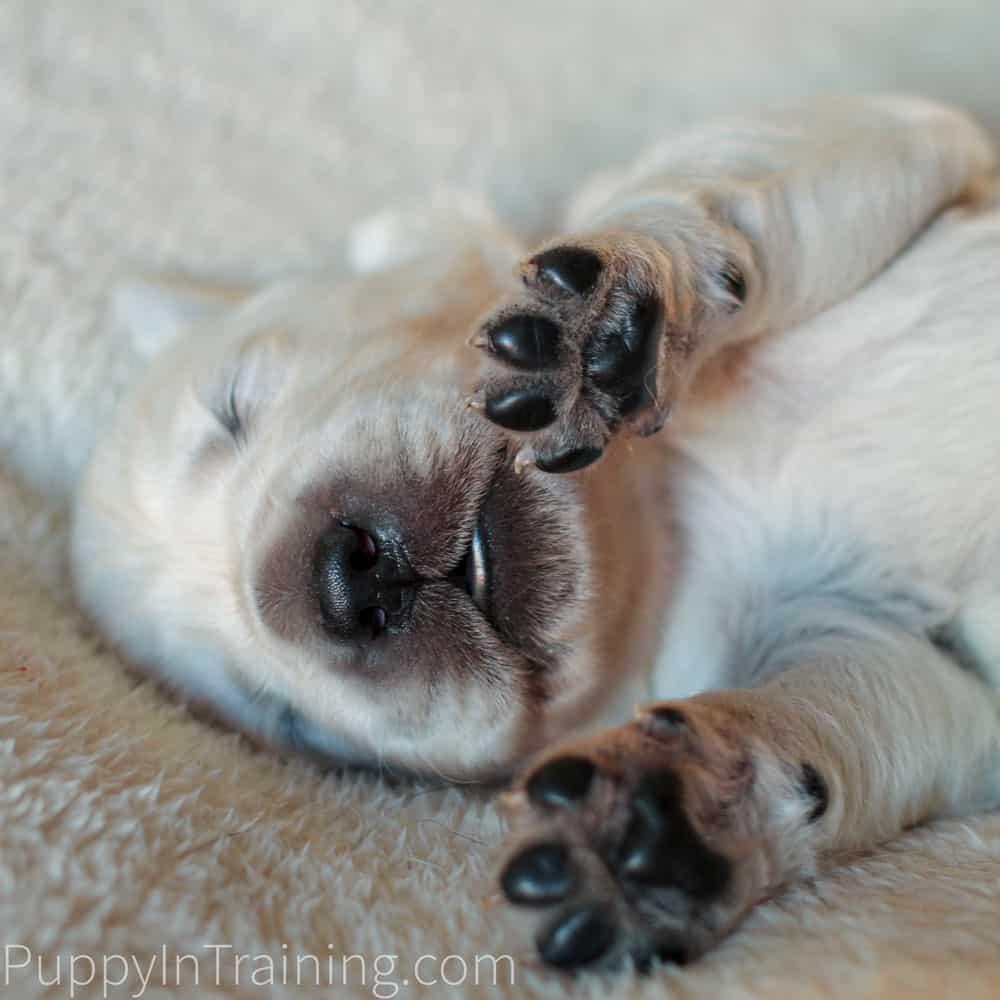 English Cream Golden Retriever Puppies Growth and Development Week 2